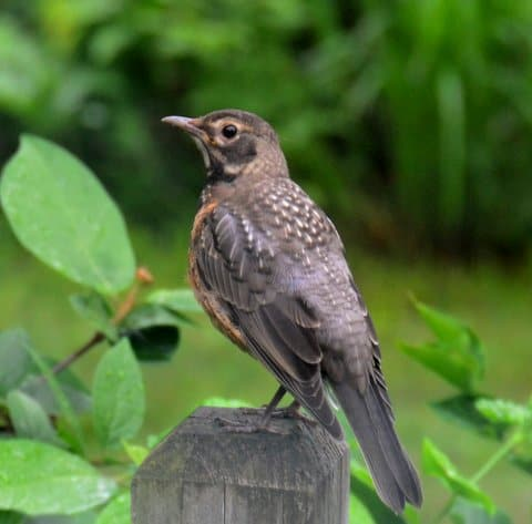 Baby Robin on Loan