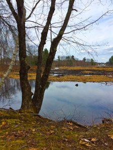 Shipley Swamp_Marian Harman Spring 16