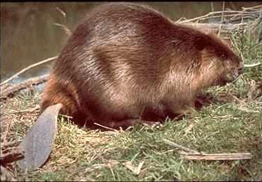 beaver5
