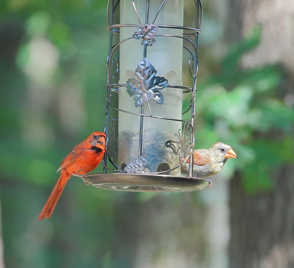003_CardinalPair_DougPederson