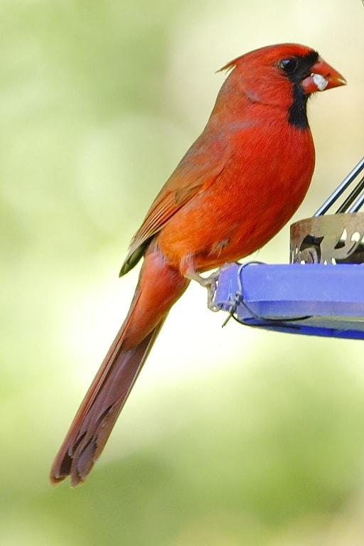 003_cardinal-DougPederson_zps137e0c41