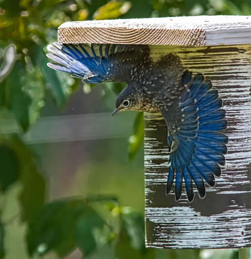003b_Bluebird_fledgling_Meyer_Franklin_zpsa2b2dc0d