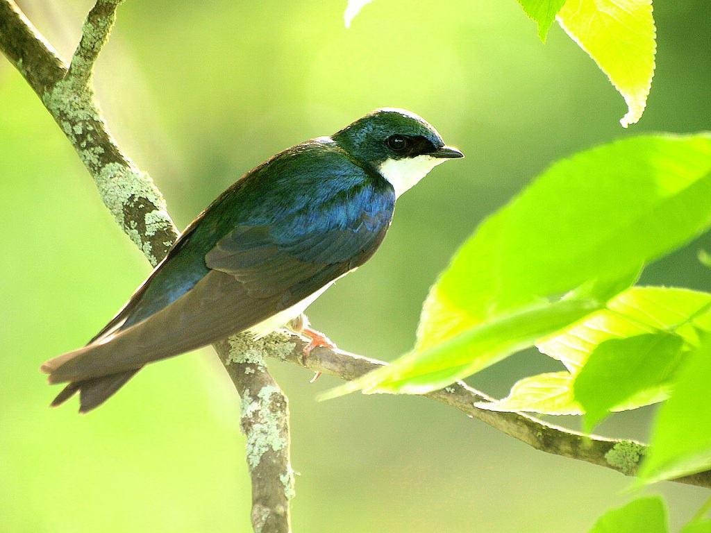 004_Tree_Swallow_Doug_Pederson_zps8cba6a83