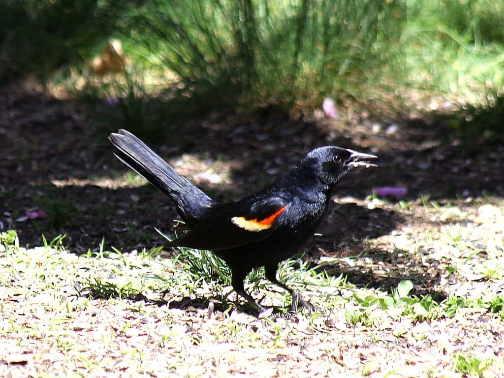 010_Red-winged_Blackbird_Doug_Pederson_zps1428fb34
