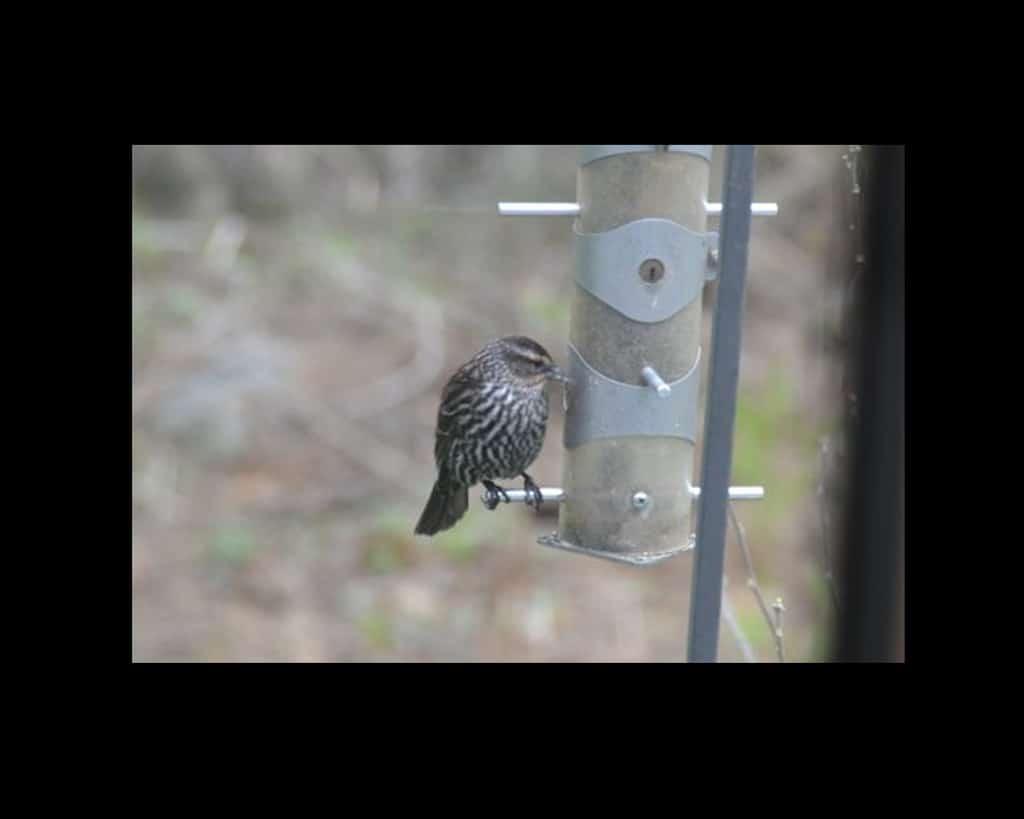 016aFemaleRedwingedblackbird_MartySouza