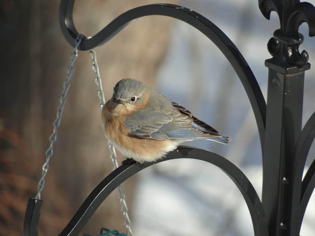 017_EasternBluebirdFemaleSheliaClapp