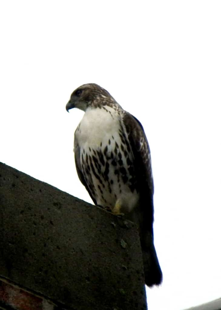 030a_Red-tailedhawk_Tom_Ennis_zpsf7514df2