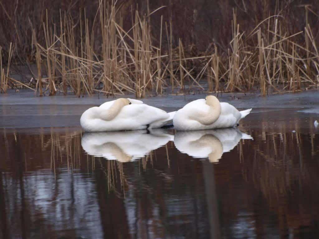 035_Swans_Forge_Pond_Doug_Pederson_zpscdb1657b