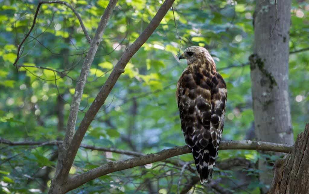 045_Broad-winged_Hawk_Kati_Seiffer_zpsf71a1a7d
