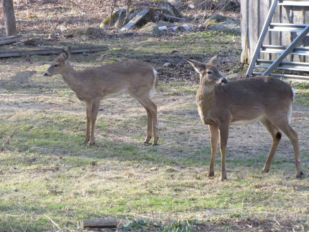 057_Deer_DotDick_Mooney_zps46f849c9