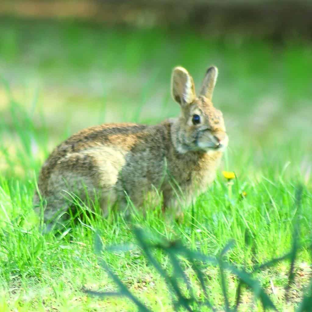 061_CottontailRabbit_Doug_Pederson_zps84d28d47