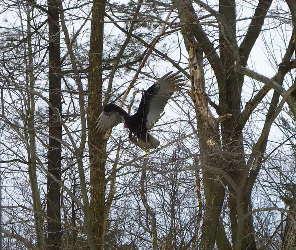 064_Turkey_Vulture_Beau_Walsh-crop_zpsf092c0cb