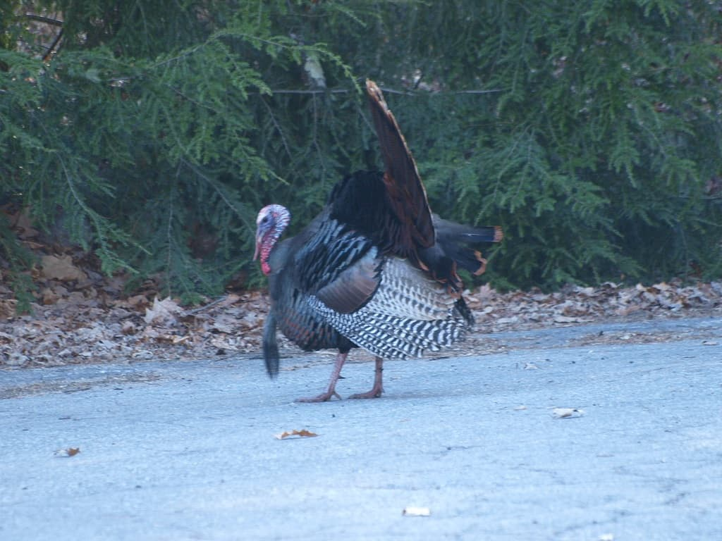 067_Wild_turkey2_Doug_Pederson_zps041c3027