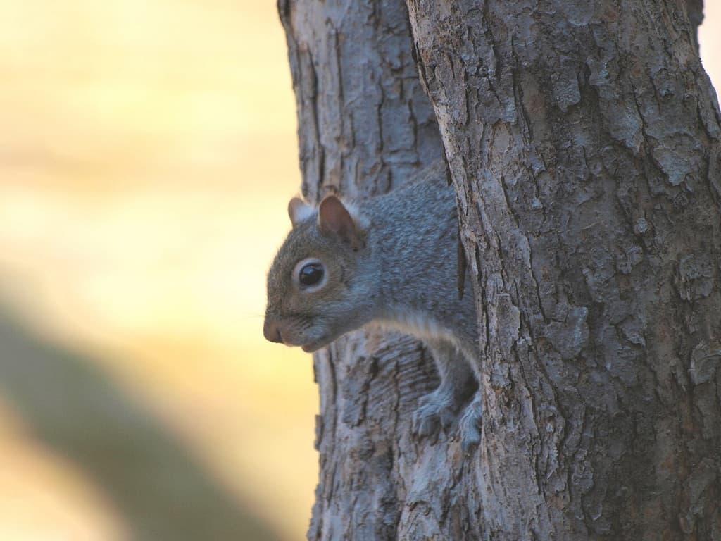 073_grey_squirrel_3_Doug_Pederson_zpsa2243a90