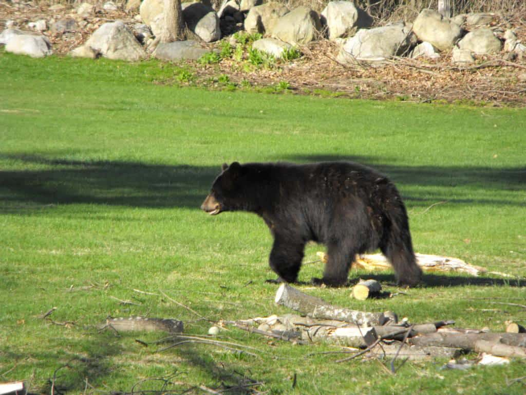 074_Black_Bear_Brian_Alcorn_zps1b423250
