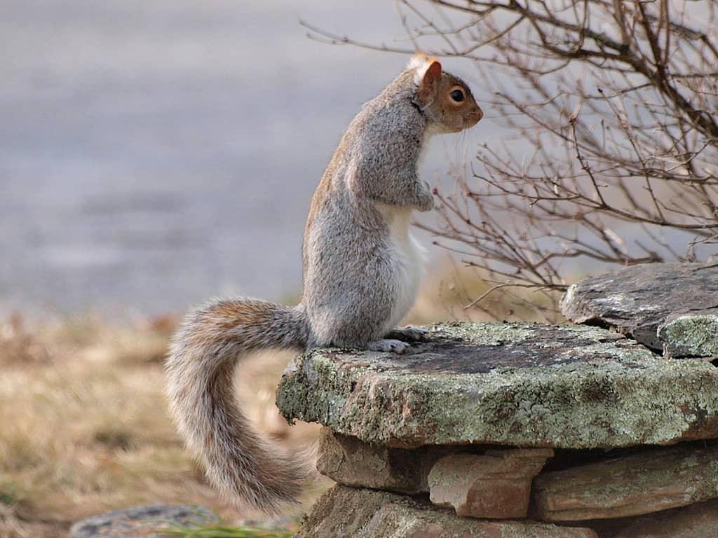 074_Gray_Squirrel2_Doug_Pederson_zps08db3a51