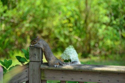075a_Gray_Squirrel_Marty_Souza_zpsa89b07bf