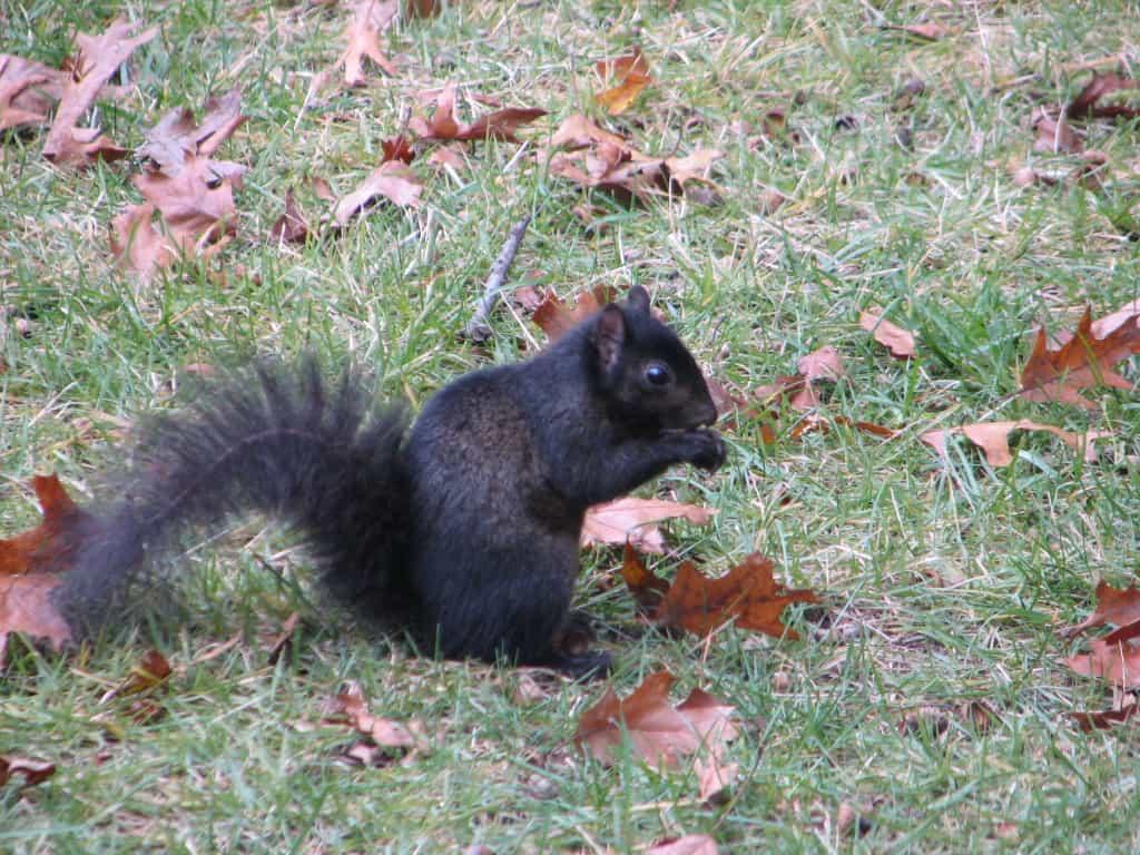 077_Gray_SquirrelBlack_Brian_Porter_zps142f9459