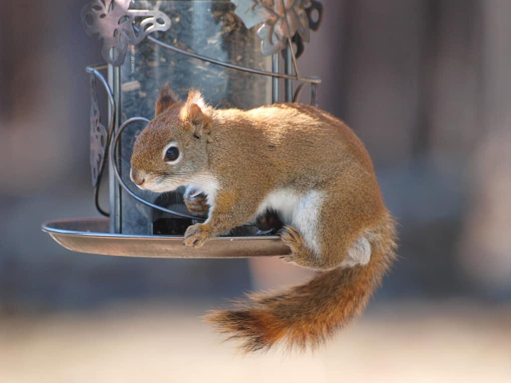 078_Red_Squirrel_Doug_Pederson_zpsaa09330d