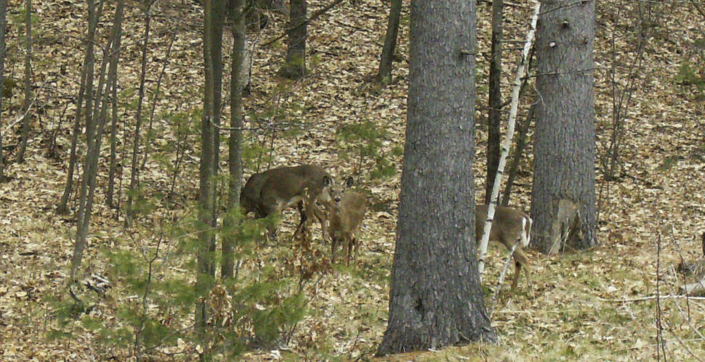 090_Deer_MargaretWheeler