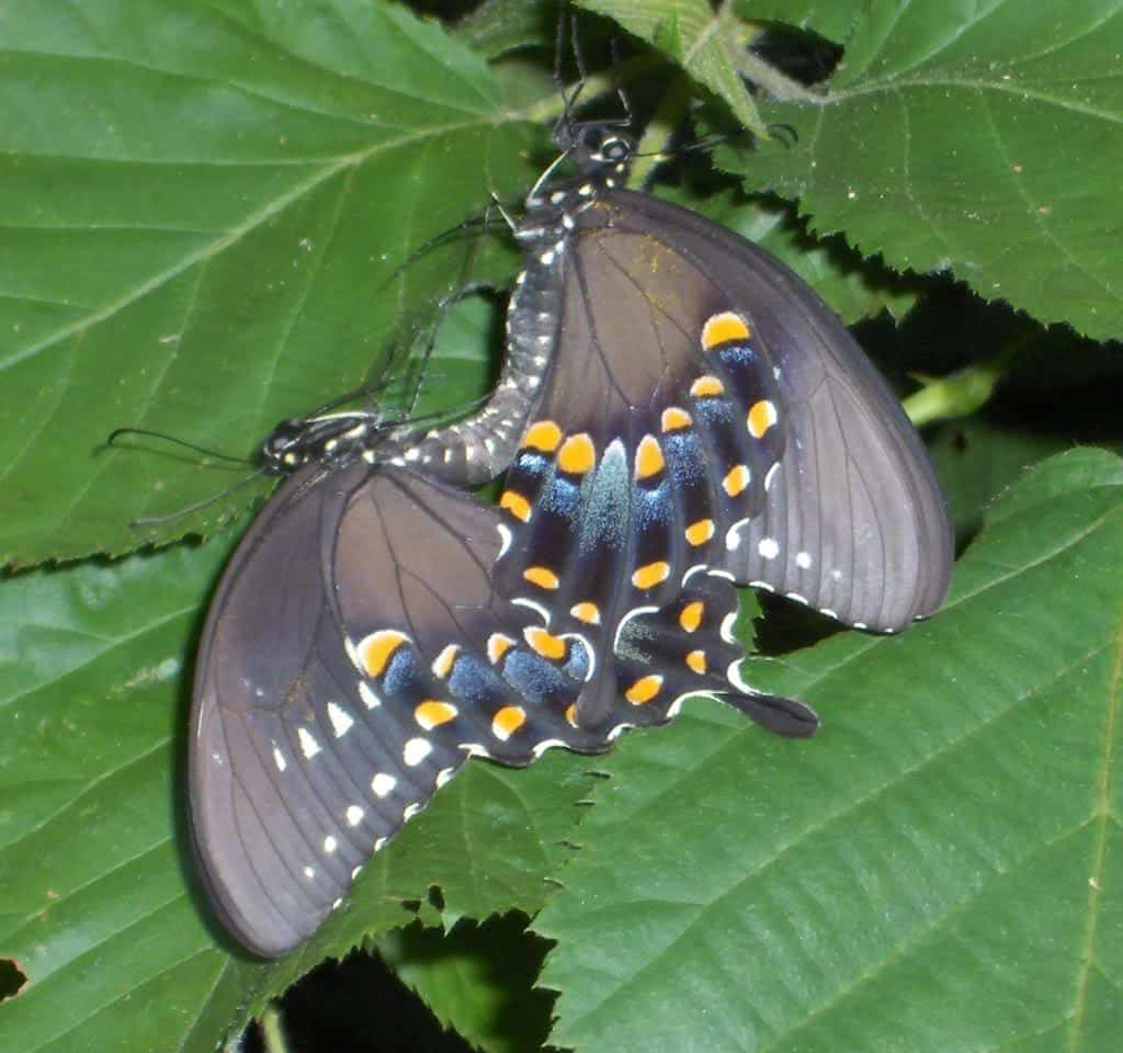 092_Black_Swallowtails_Lisa_Groves_zpsdede11f6
