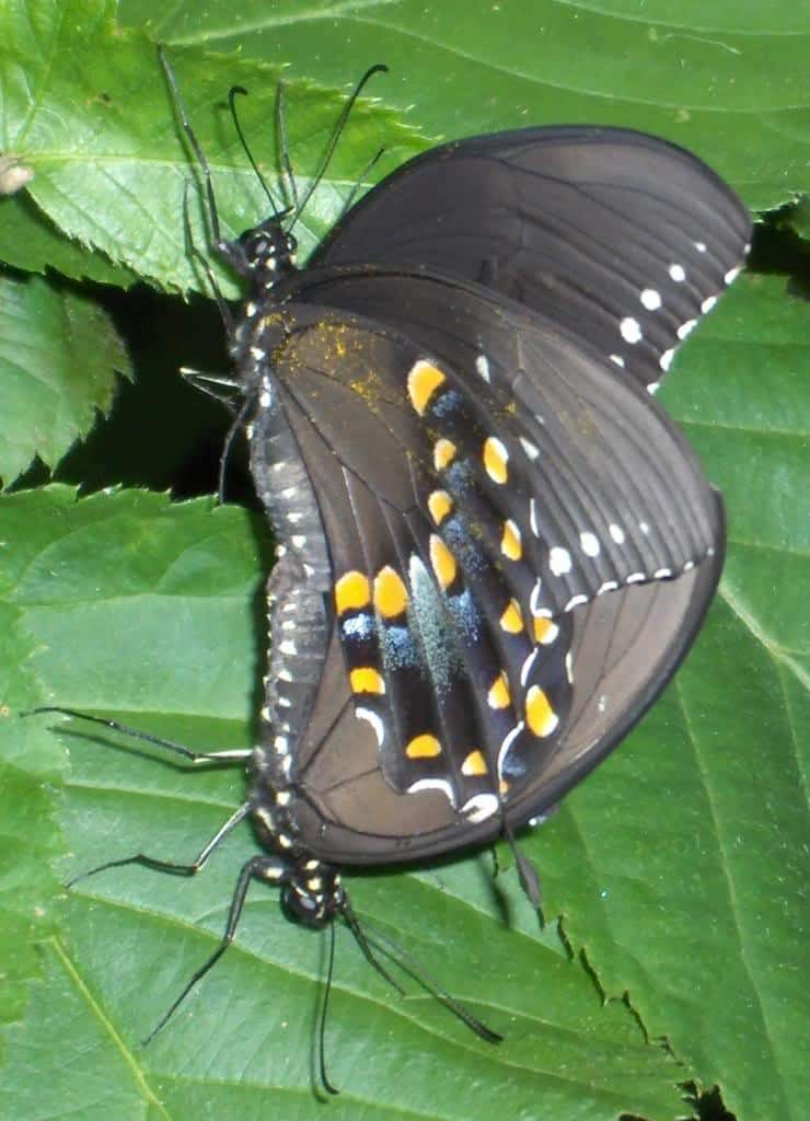 093_Black_Swallowtails2-Lisa_Groves_zpsb4149e49