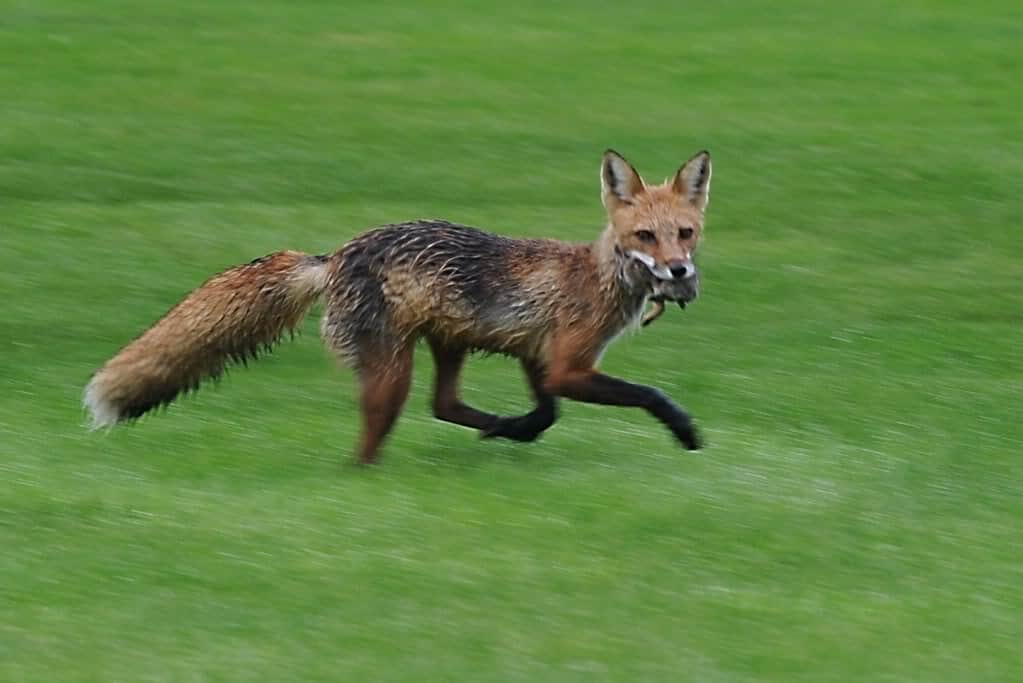 097_Red_Fox_with_Rabbit_Donna_Hackley_May152012_zps621cea5b