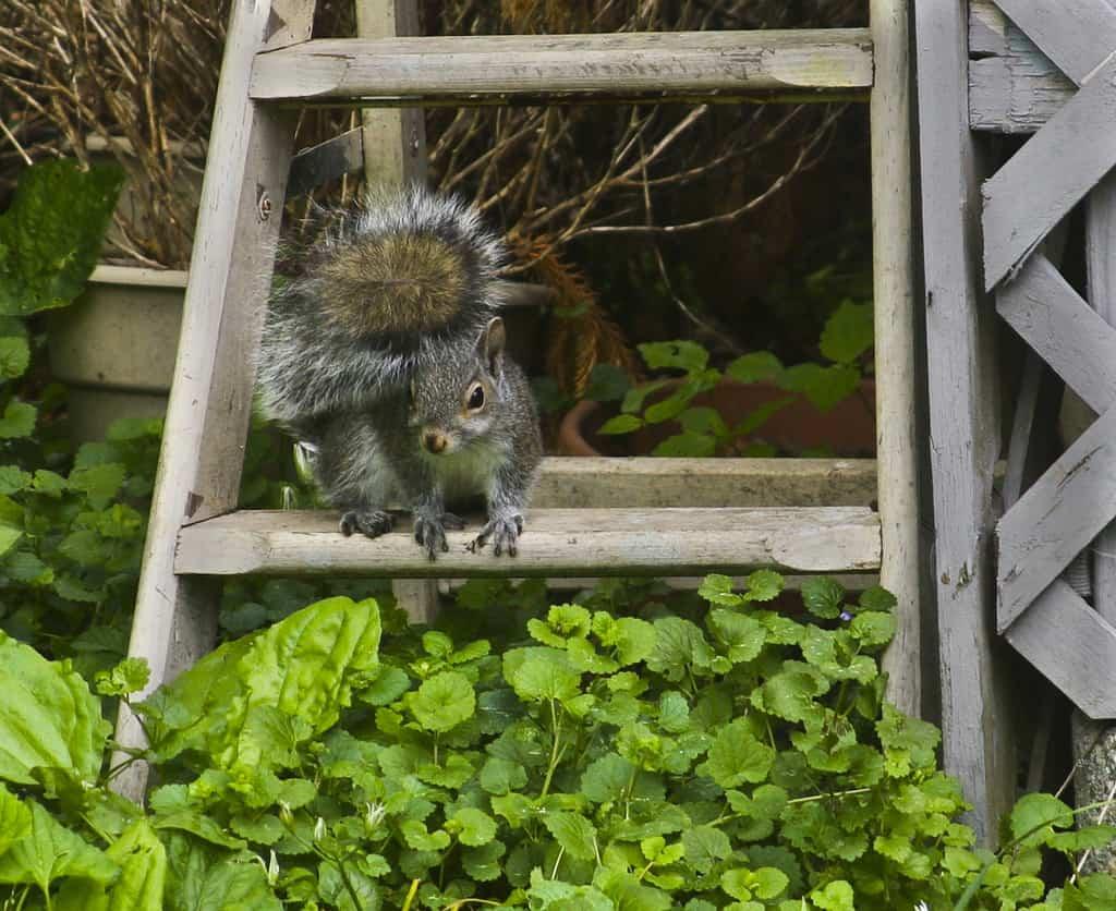 098_GreySquirrel_MarianHarman