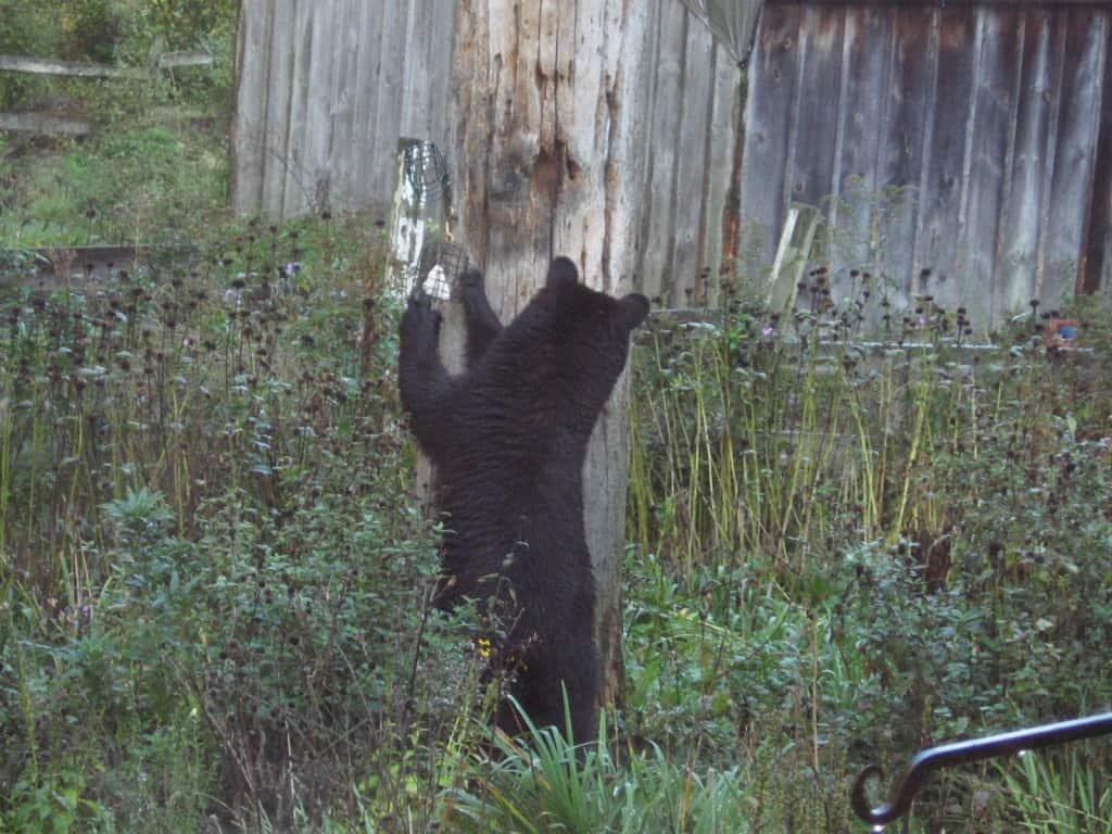 099b_Black_Bear_2_Dot_Mooney_zps27de9c6a
