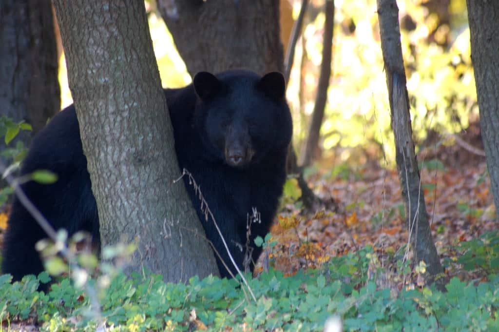 099c_Joel_Tedford_black_bear_zps661bd53b