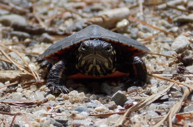 101_Painted_Turtle_baby_Frank_Karkota_zps1a2c41c5