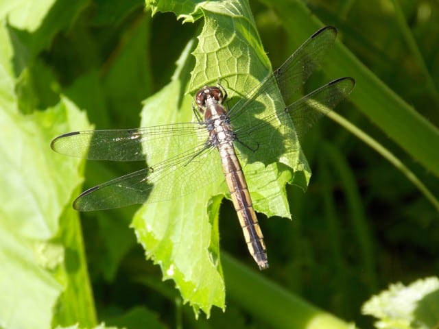 109_Dragonfly_Frank_Karkota_zpsf5cb4344
