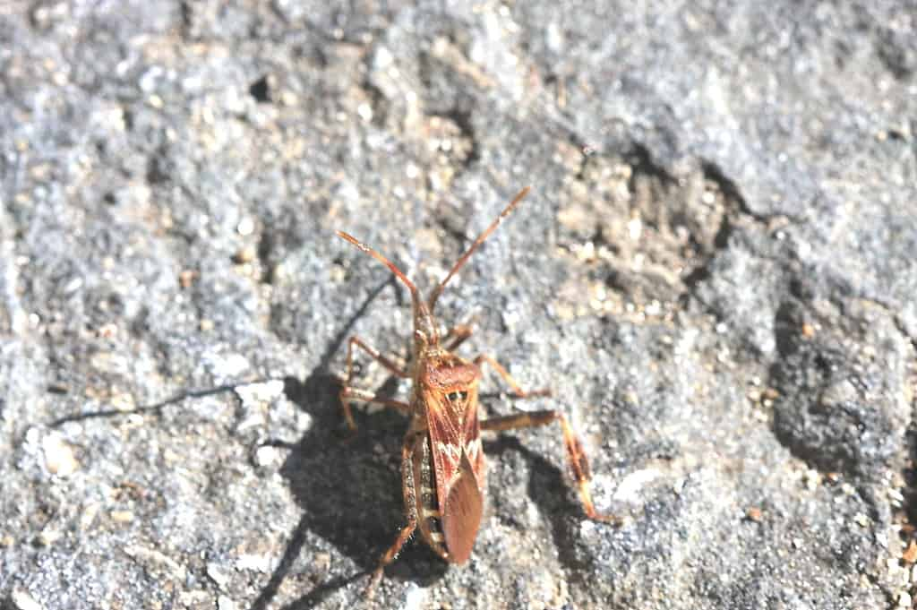 109a_Stink_Bug_Doug_Pederson_zps72f4e02e