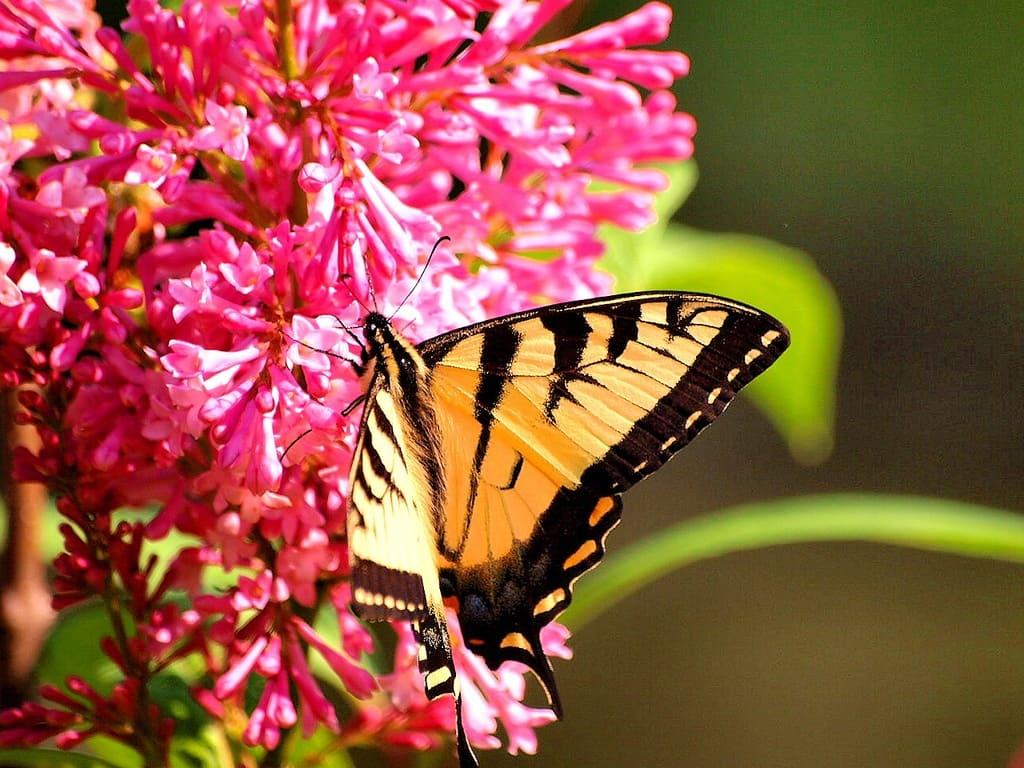 110_Tiger_Swallowtail_Doug_Pederson_zps488f28c8