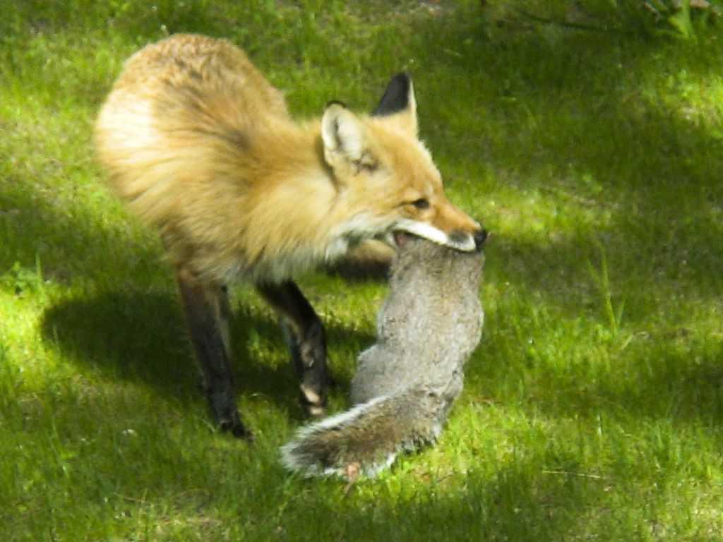 111_RedFoxandGreySquirrel_BobPrice