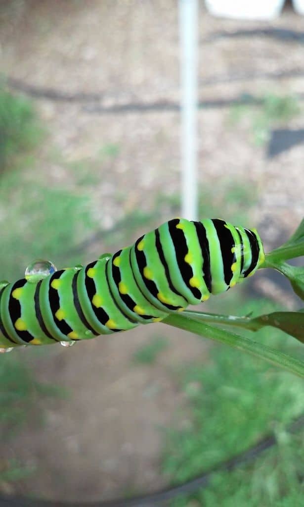 127_BlackSwallowtailCaterpillar_DawnMatthews