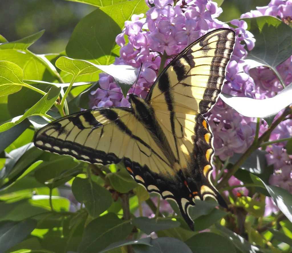 129_TigerSwallowtail_DawnMatthews