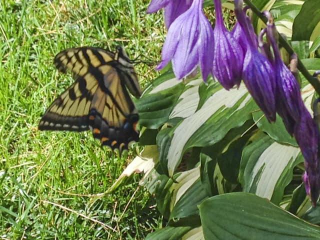 130_TigerSwallowtail_Rosemarie_Koester