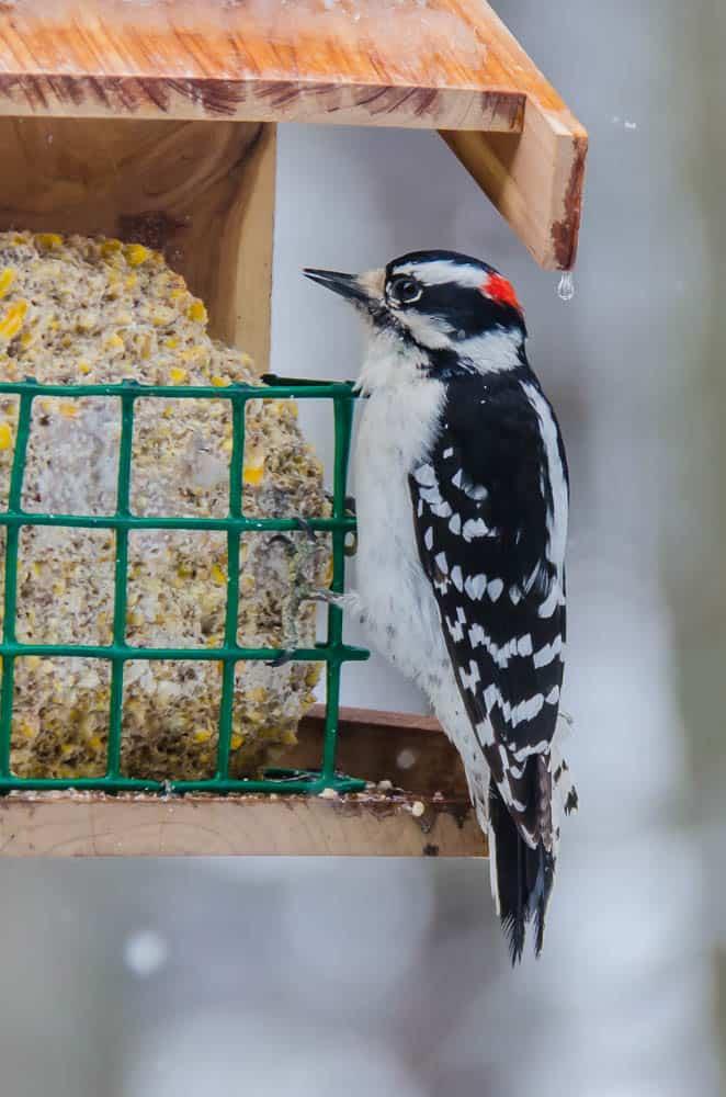001a_Downy-Woodpecker-3_John-Piekos