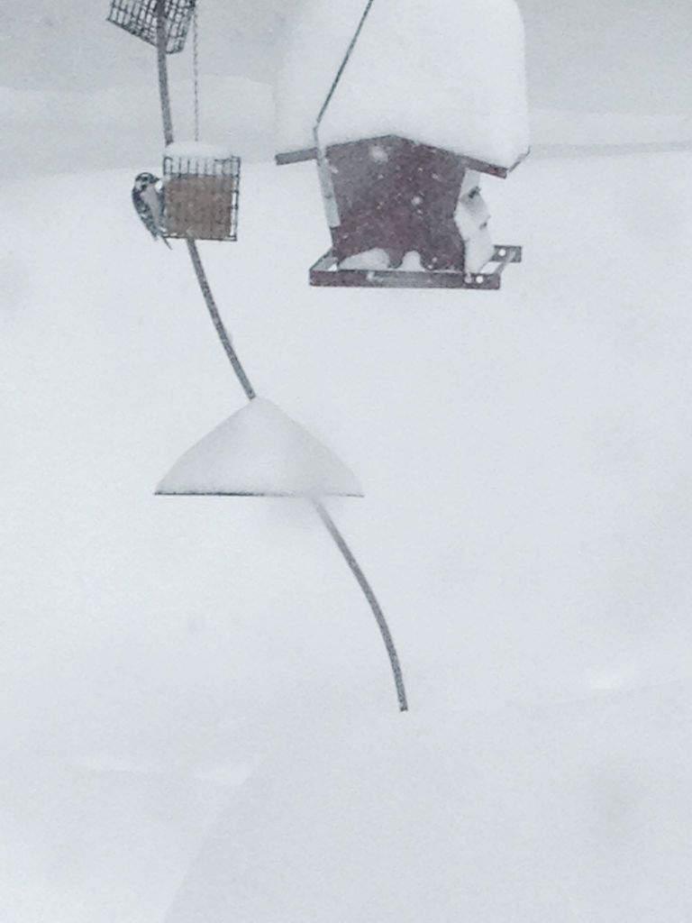 004_Downy-Woodpecker-in-snow_Cori-Ryan