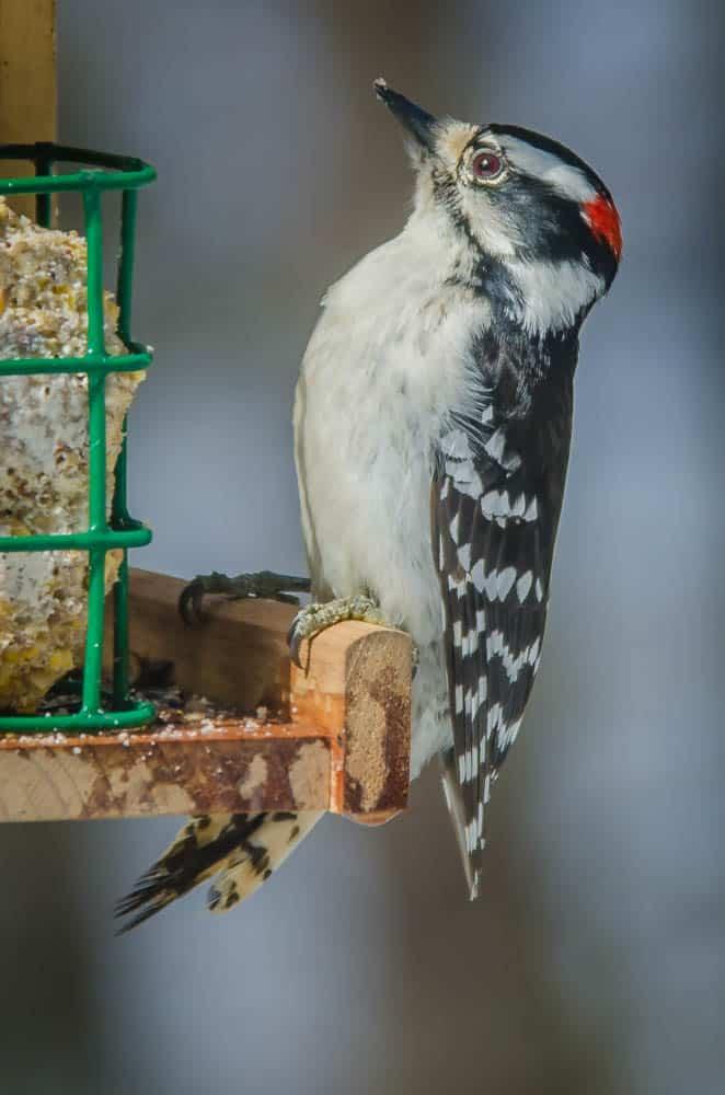 005_Downy-Woodpecker-2_John-Piekos