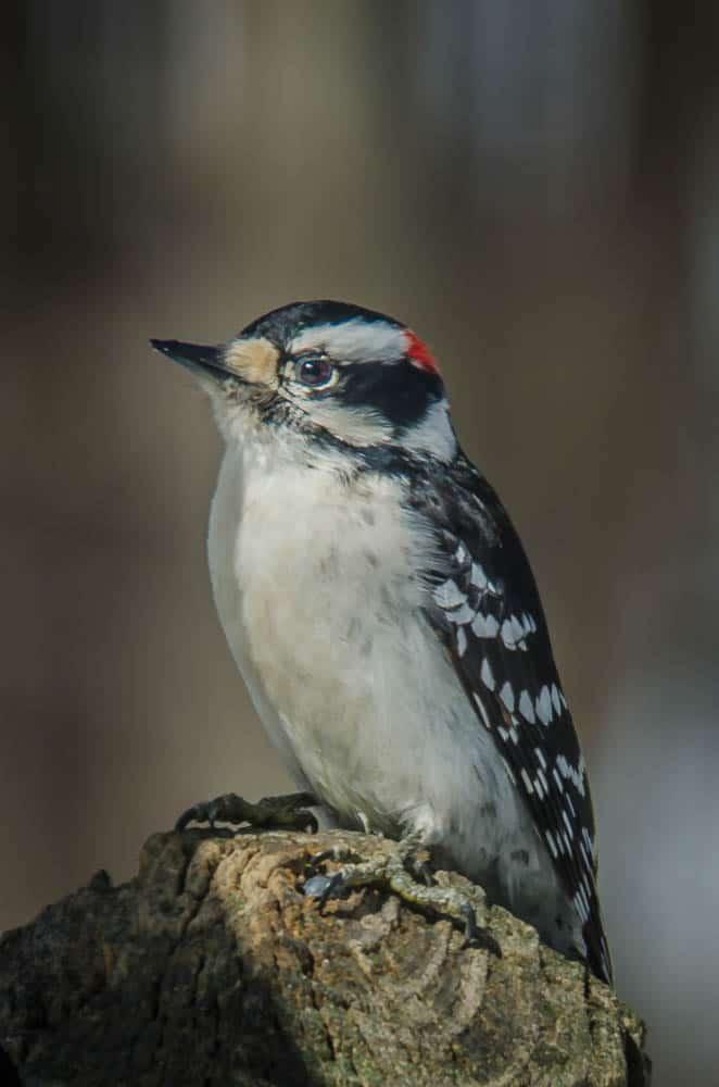 006_Downy-Woodpecker-1-John-Piekos
