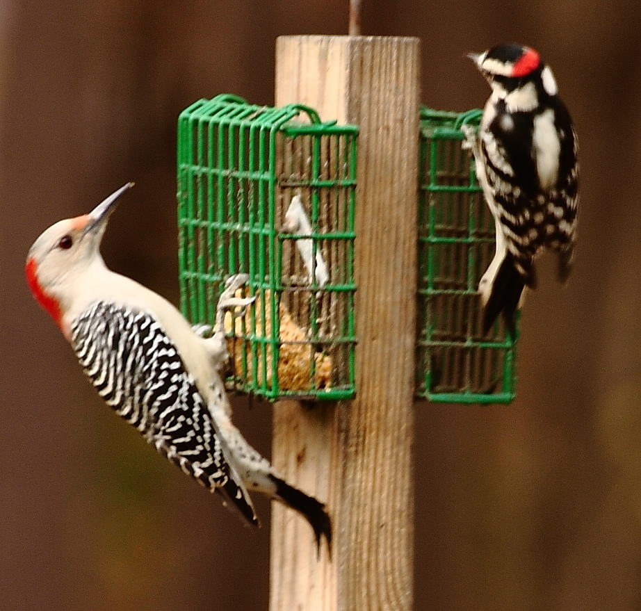 007_RB-and-downy-woodpeckers_Doug-Pederson