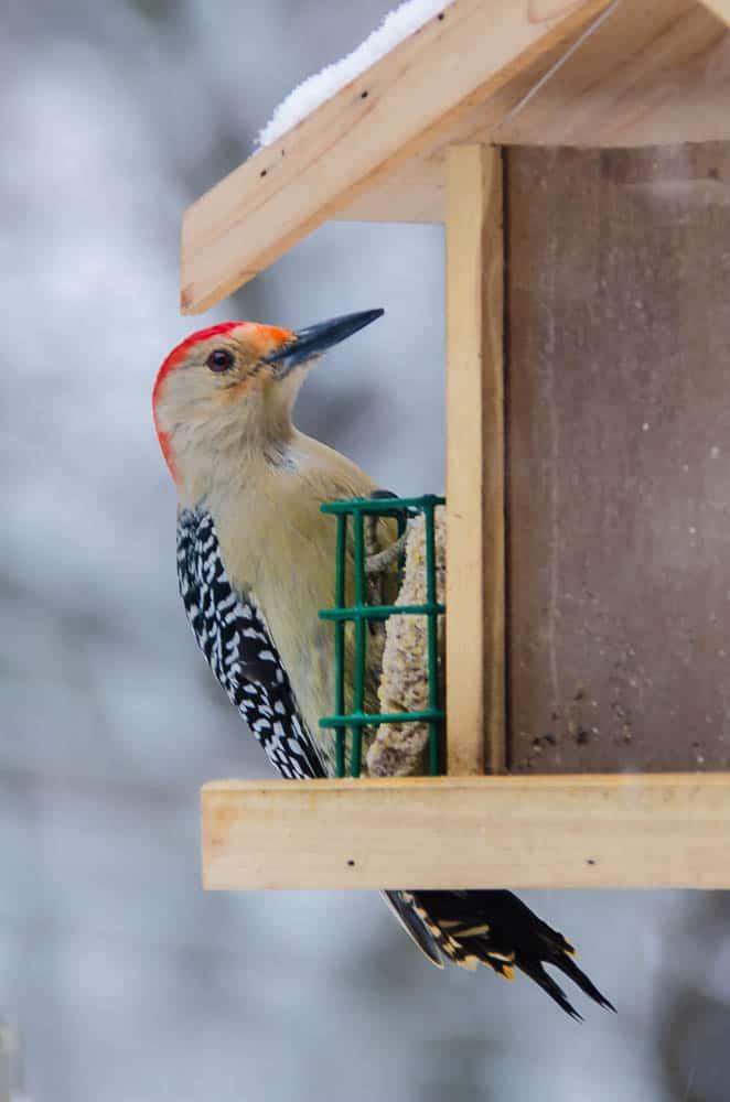 008_Red-bellied-Woodpecker-1_John-Piekos