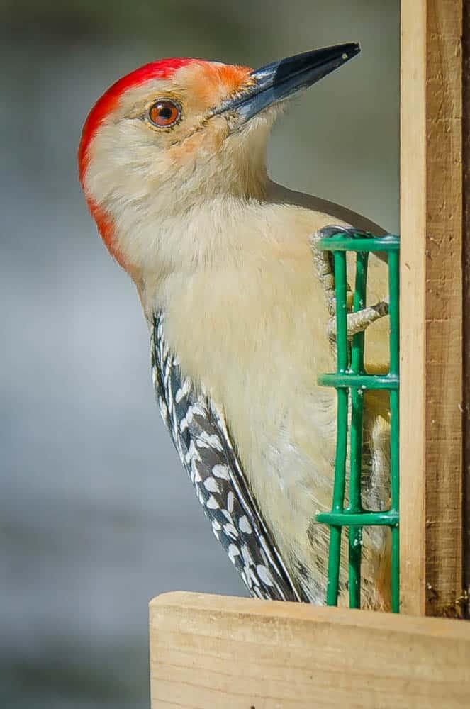 009_Red-bellied-Woodpecker_John-Piekos