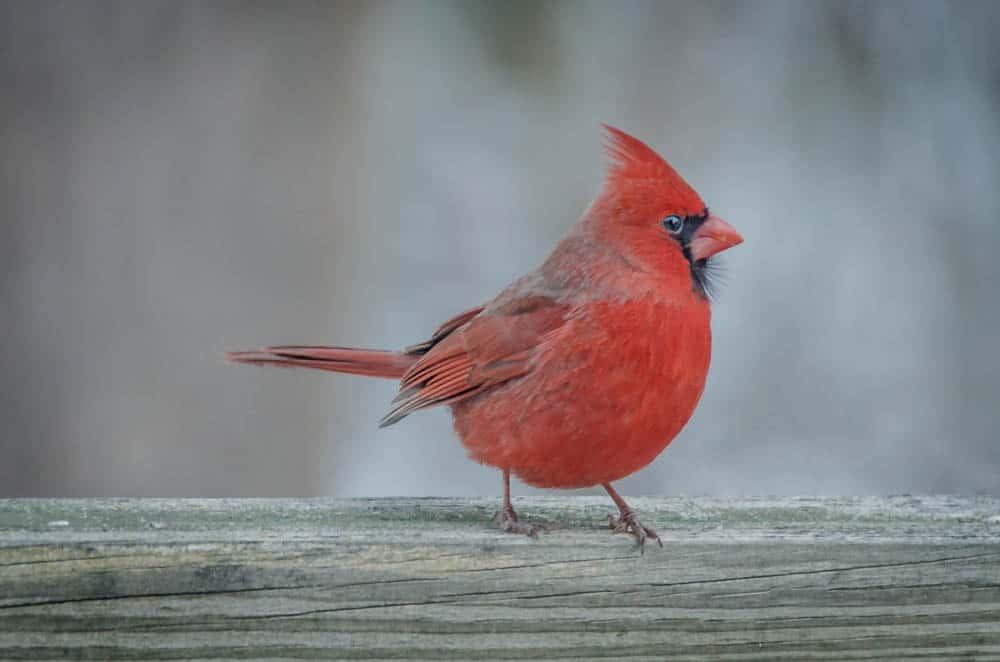 012_Cardinal_John-Piekos
