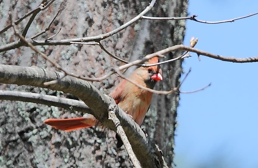014_Female-cardinal_Doug-Pederson