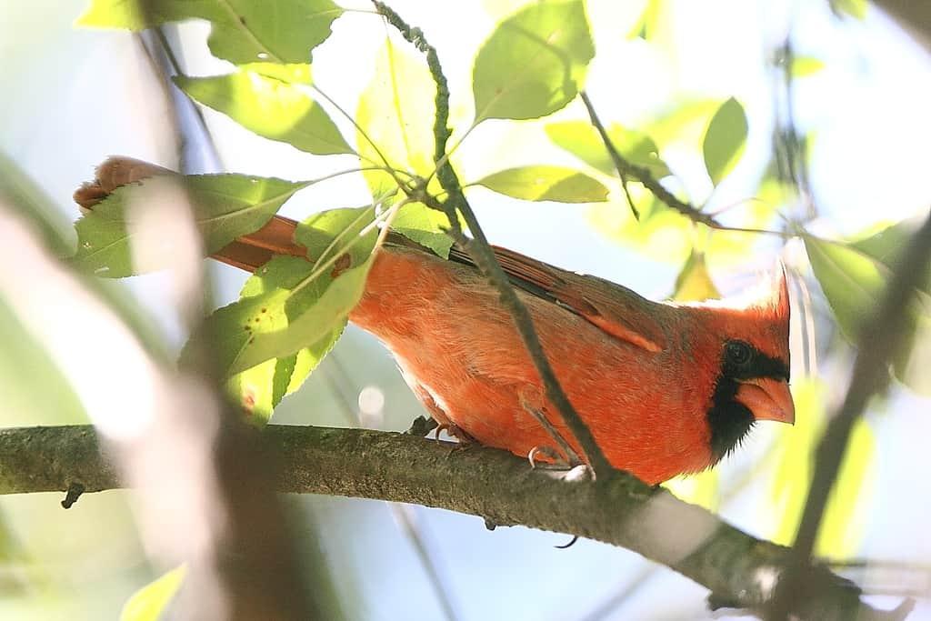 015_Northern-Cardinal_Doug-Pederson