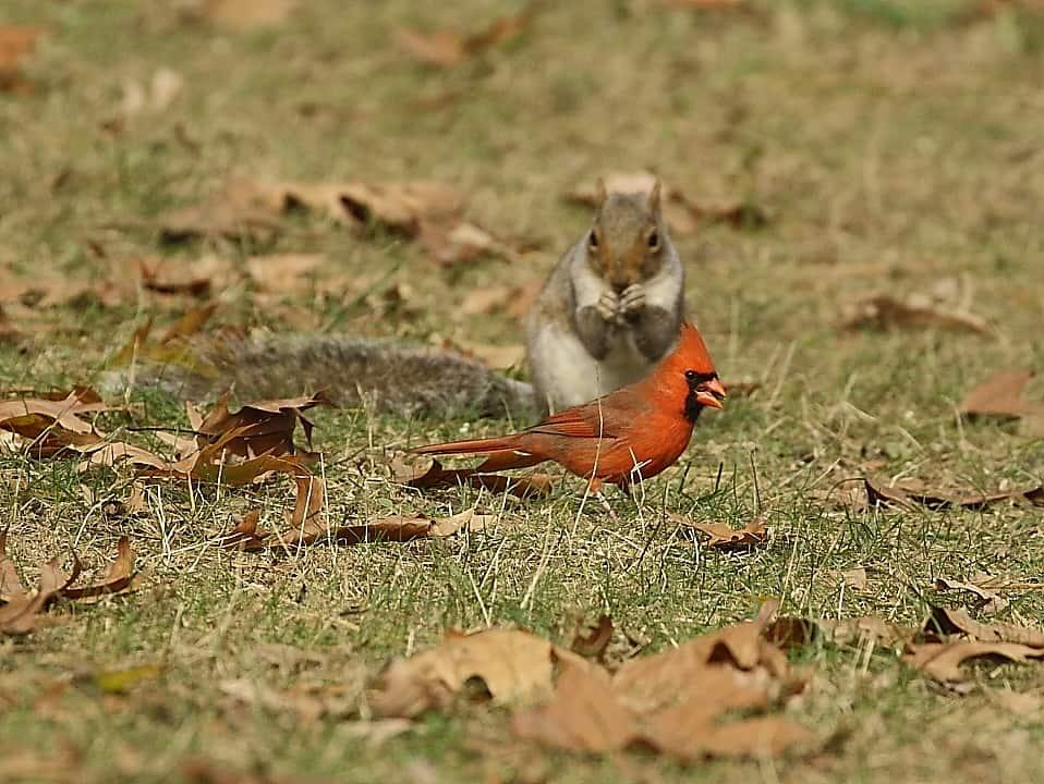 016_Squirrel-cardinal_Doug-Pederson