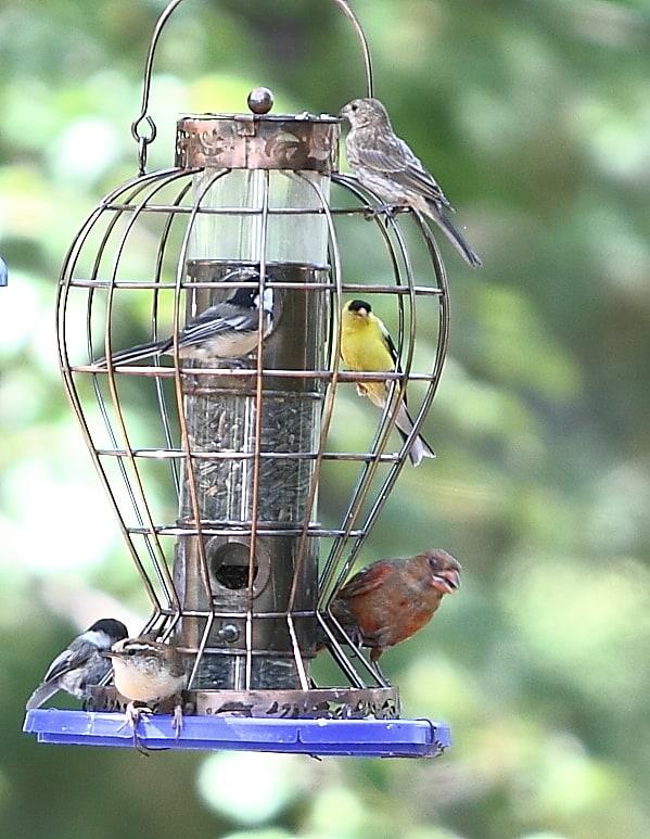 022_Birds-at-feeder_Doug-Pederson
